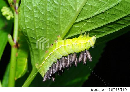 オオシマカラスヨトウの幼虫に寄生蜂の蛹 46753519