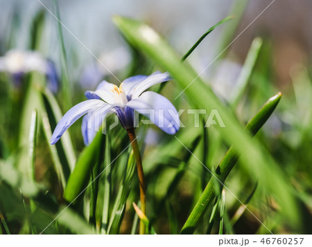 Early, bright, spring crocus and scilla flowers 46760257