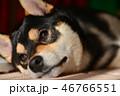 柴犬 犬 黒柴の写真 46766551