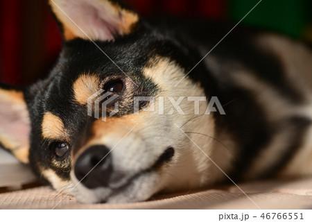 柴犬の日常 46766551