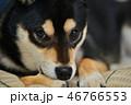 柴犬 犬 黒柴の写真 46766553