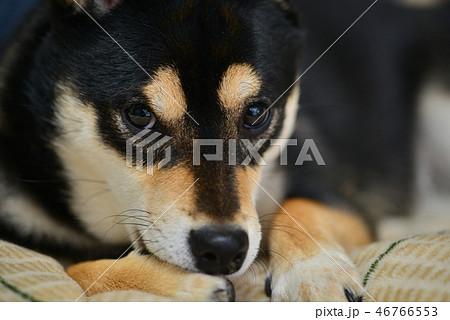 柴犬の日常 46766553