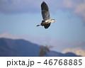 アオサギ 鳥 サギの写真 46768885