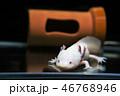 ウーパールーパー 46768946