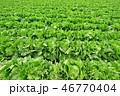 レタス キャベツ 野菜の写真 46770404