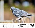 公園の鳩 46771176