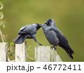 鳥 羽繕い 羽づくろいの写真 46772411