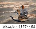 野鳥 動物 成鳥の写真 46774468