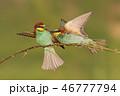 ハチクイ 鳥 小枝の写真 46777794