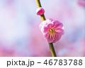 梅 紅梅 花の写真 46783788
