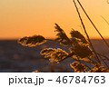 Fluffy reed flowers by sunset 46784763