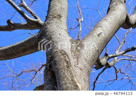 ケヤキ(ニレ科・ケヤキ属)木肌・木膚・木のはだ・外皮・樹皮 46794113