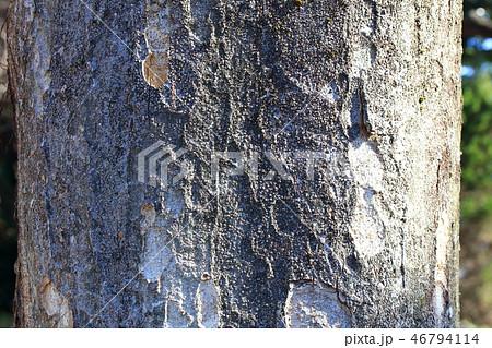 ケヤキ(ニレ科・ケヤキ属)木肌・木膚・木のはだ・外皮・樹皮 46794114
