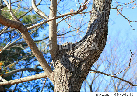モクゲンジ・木患子(ムクロジ科モクゲンジ属 )木肌・木膚・木のはだ・外皮・樹皮 46794549