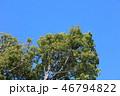 植物 樟 クスノキ科の写真 46794822