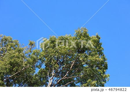 クスノキ ・樟(クスノキ科クスノキ属 )木肌・木膚・木のはだ・外皮・樹皮 46794822