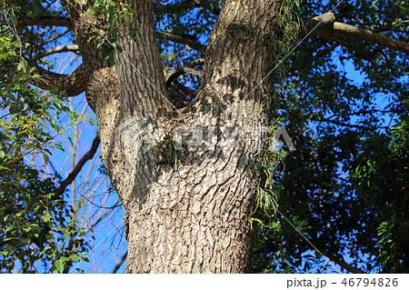 クスノキ ・樟(クスノキ科クスノキ属 )木肌・木膚・木のはだ・外皮・樹皮 46794826