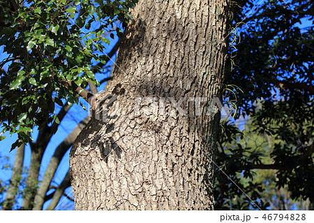 クスノキ ・樟(クスノキ科クスノキ属 )木肌・木膚・木のはだ・外皮・樹皮 46794828
