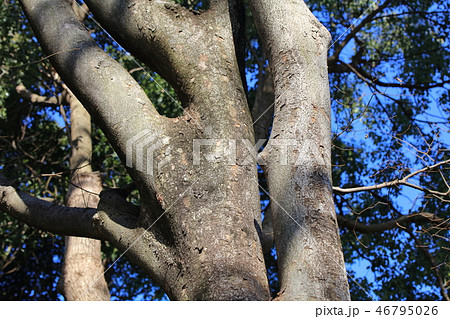 ケヤキ(ニレ科・ケヤキ属)木肌・木膚・木のはだ・外皮・樹皮 46795026
