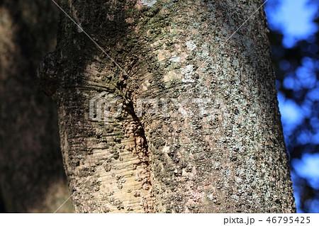 ヤマモモ ・山桃(ヤマモモ科 )木肌・木膚・木のはだ・外皮・樹皮 46795425
