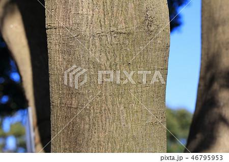 マテバシイ(ブナ科マテバシイ属 )木肌・木膚・木のはだ・外皮・樹皮 46795953