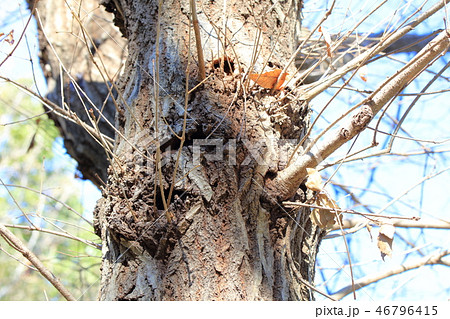 コナラ・小楢(ブナ科コナラ属 )木肌・木膚・木のはだ・外皮・樹皮 46796415