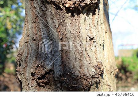 コナラ・小楢(ブナ科コナラ属 )木肌・木膚・木のはだ・外皮・樹皮 46796416