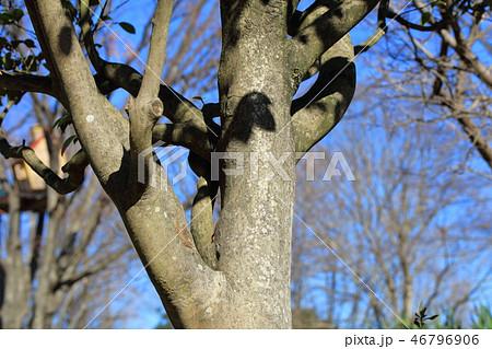 ヤブツバキ・藪椿(ツバキ科 )木肌・木膚・木のはだ・外皮・樹皮 46796906