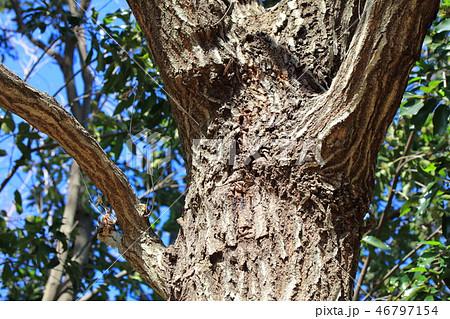 コナラ・小楢(ブナ科コナラ属 )木肌・木膚・木のはだ・外皮・樹皮 46797154