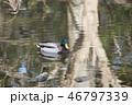 池のマガモ 46797339