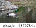 池のマガモ 46797341