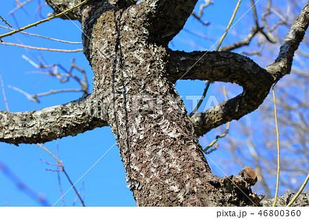 梅・玉簾たますだれ(バラ科サクラ属 )木肌・木膚・木のはだ・外皮・樹皮・木目 46800360