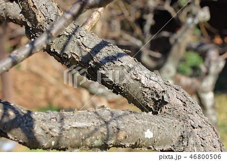 梅・福寿梅ふくじゅばい(バラ科サクラ属 )木肌・木膚・木のはだ・外皮・樹皮・木目 46800506