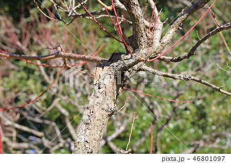 梅・ムサシノ武蔵野(バラ科サクラ属 )木肌・木膚・木のはだ・外皮・樹皮・木目 46801097