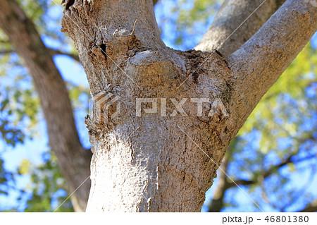 コブシ・辛夷(モクレン科ハクモクレン亜属 )木肌・木膚・木のはだ・外皮・樹皮・木目 46801380