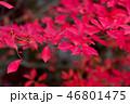 紅葉 46801475