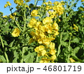12月に咲き始めた早咲きナバナ満開です 46801719