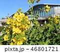 12月に咲き始めた早咲きナバナ満開です 46801721