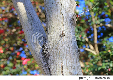 オオモミジ・大紅葉(カエデ科カエデ属 )木肌・木膚・木のはだ・外皮・樹皮・木目 46802030