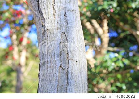 オオモミジ・大紅葉(カエデ科カエデ属 )木肌・木膚・木のはだ・外皮・樹皮・木目 46802032