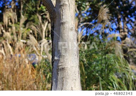 イロハモミジ(カエデ科カエデ属 )木肌・木膚・木のはだ・外皮・樹皮・木目 46802343