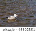 稲毛海浜公園の冬の渡り鳥ユリカモメ 46802351