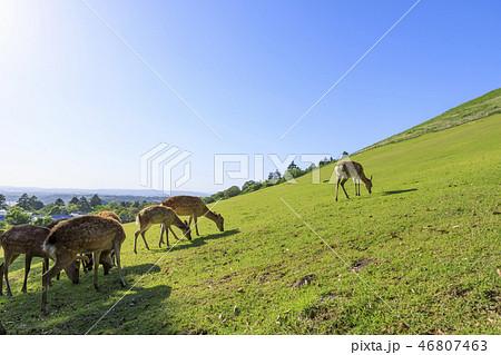 奈良県・若草山の鹿・初夏 46807463