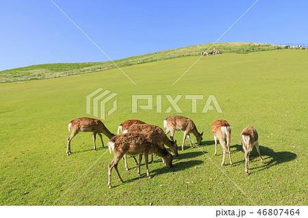 奈良県・若草山の鹿・初夏 46807464