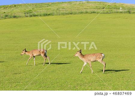 奈良県・若草山の鹿・初夏 46807469