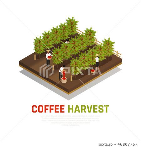 Coffee Harvest Isometric Background 46807767