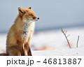 眠たいキタキツネ(北海道) 46813887
