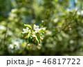 花 白 自然の写真 46817722