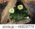 ぼたん 花 冬の写真 46820779