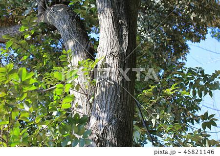 スダジイ(ブナ科 )木肌・木膚・木のはだ・外皮・樹皮・木目 46821146